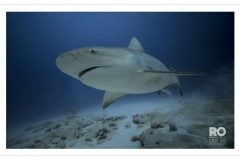 Bull Shark Encounter